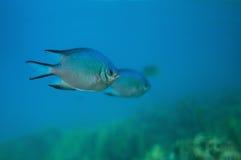 在水之下的鱼 免版税库存照片