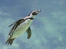 在水之下的humboldt企鹅 免版税图库摄影