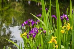 在水前面的黄色和紫色虹膜 库存照片
