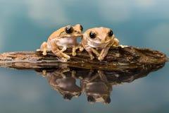 在水反映的两只亚马逊牛奶青蛙 免版税库存图片