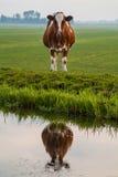 在水反映的荷兰语母牛 库存图片