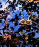 在水反映的雏菊 免版税库存图片