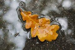 在水坑的一片橡木黄色叶子在湿沥青 免版税库存图片