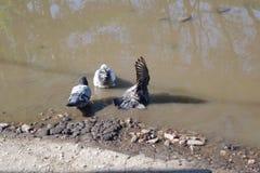 在水坑的三只鸽子 库存照片