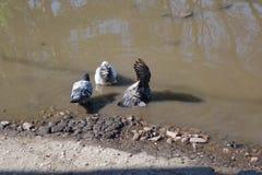 在水坑的三只鸽子 库存图片