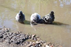 在水坑的三只鸽子 免版税库存图片