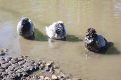 在水坑的三只鸽子 免版税库存照片
