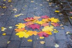 在水坑的下落的槭树叶子 库存图片