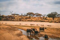在水坑的大象家庭在徒步旅行队 免版税库存图片