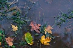 在水坑的干燥秋叶 秋天背景特写镜头上色常春藤叶子橙红 免版税库存照片