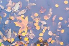 在水坑的干燥秋叶 秋天背景特写镜头上色常春藤叶子橙红 库存照片