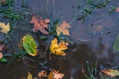 在水坑的干燥秋叶 秋天背景特写镜头上色常春藤叶子橙红 图库摄影