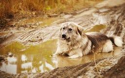 在水坑的狗 图库摄影