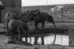 在水坑,察沃国家公园,肯尼亚的大象 免版税库存图片