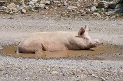 在水坑,阿尔巴尼亚的一头母猪 库存照片
