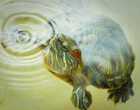 在水外面的红有耳的乌龟偷看 库存照片