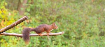 在水平的分支的红松鼠 库存图片
