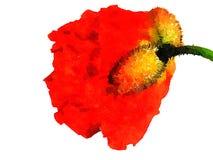 在水彩的红色鸦片 免版税库存图片