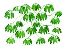 在水彩绘的鲜绿色的热带藤本植物 画装饰的对象 库存照片