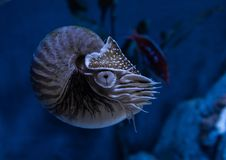 在水族馆居住烟囱鹦鹉舡鱼pompilius关闭  库存照片