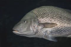 在水族馆的一条唯一大鳞状海洋鱼 免版税库存照片