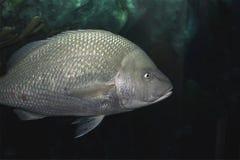 在水族馆的一条唯一大鳞状海洋鱼 免版税库存图片