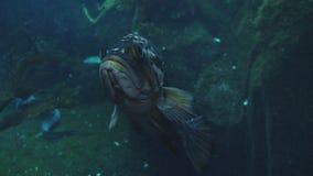 在水族馆的丑恶的浮动鱼 股票录像