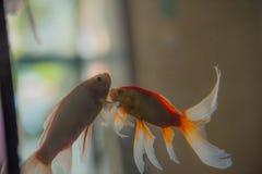 在水族馆的两条恋人鱼 免版税图库摄影