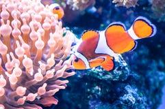 在水族馆的亦称橙色clownfish双锯鱼percula percula clownfish和小丑anemonefish游泳,在z 免版税图库摄影