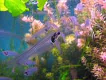 在水族馆的印地安玻璃鲶鱼 关闭与可看见的骨骼的一条透明鱼 免版税库存照片