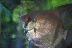 在水族馆的发光的金黄Gurama鱼 免版税库存照片