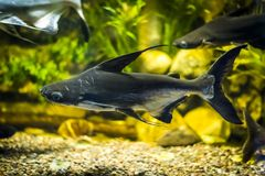 在水族馆的大切刀鱼 免版税库存图片