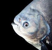 在水族馆的大比拉鱼 免版税库存照片