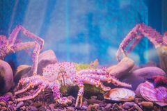 在水族馆的大紫色海螃蟹 库存图片
