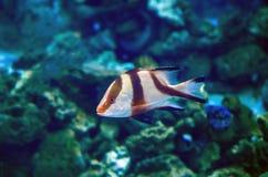 在水族馆的异乎寻常的热带蓑鱼 库存图片