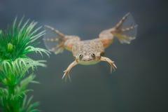 在水族馆的异乎寻常的黄色青蛙游泳 免版税库存照片