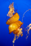 在水族馆的橙色意志薄弱的人 免版税库存照片