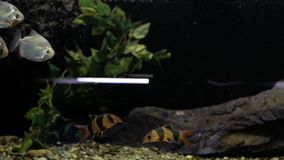 在水族馆的比拉鱼 股票视频