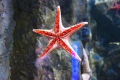 在水族馆的海星Asteroidea 库存照片