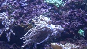 在水族馆的海葵 影视素材
