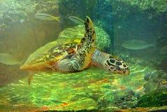 在水族馆的海龟埃拉特 以色列 图库摄影