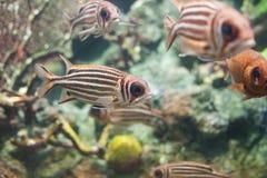 在水族馆的红色金鳞鱼Sargocentron rubrum 免版税库存图片