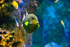 在水族馆的美丽的五颜六色的鱼,越南 免版税库存照片
