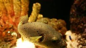 在水族馆的美丽的鱼在水生植物背景的装饰 在鱼缸的一条五颜六色的鱼 股票录像