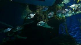 在水族馆的美丽的鱼在水生植物背景的装饰 在鱼缸的一条五颜六色的鱼 影视素材