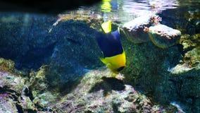 在水族馆的美丽的鱼在水生植物背景的装饰 在鱼缸的一条五颜六色的鱼 股票视频