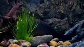 在水族馆的美丽的鱼在水生植物backgroun的装饰 影视素材