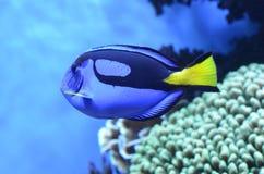 在水族馆的蓝色豪华特性 库存照片