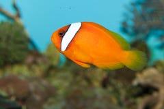 在水族馆的蕃茄Clownfish 免版税库存照片