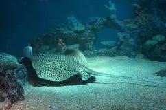 在水族馆的被察觉的黄貂鱼游泳在含沙底部 回到视图 库存图片